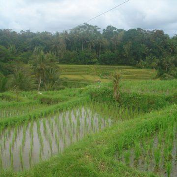 Ghiroda și orezul