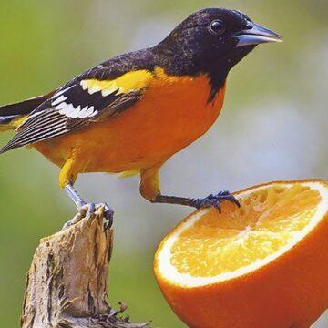 Păsări portocalii
